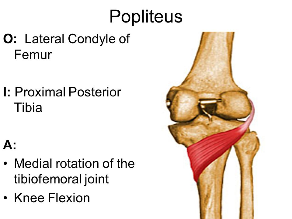 Popliteus O: Lateral Condyle of Femur I: Proximal Posterior Tibia A: