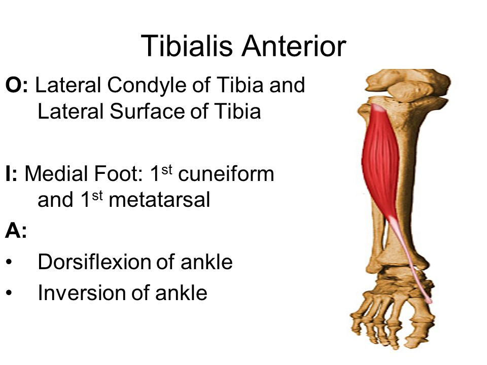 Tibialis Anterior O: Lateral Condyle of Tibia and Lateral Surface of Tibia. I: Medial Foot: 1st cuneiform and 1st metatarsal.
