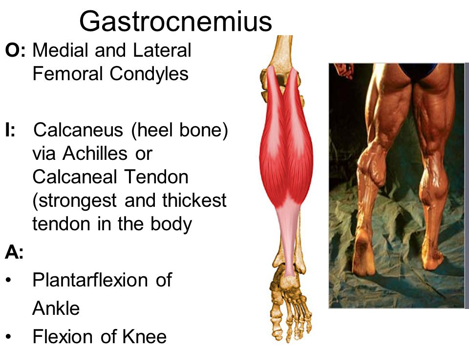 Gastrocnemius O: Medial and Lateral Femoral Condyles