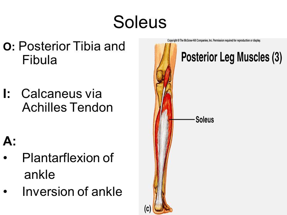 Soleus I: Calcaneus via Achilles Tendon A: Plantarflexion of ankle