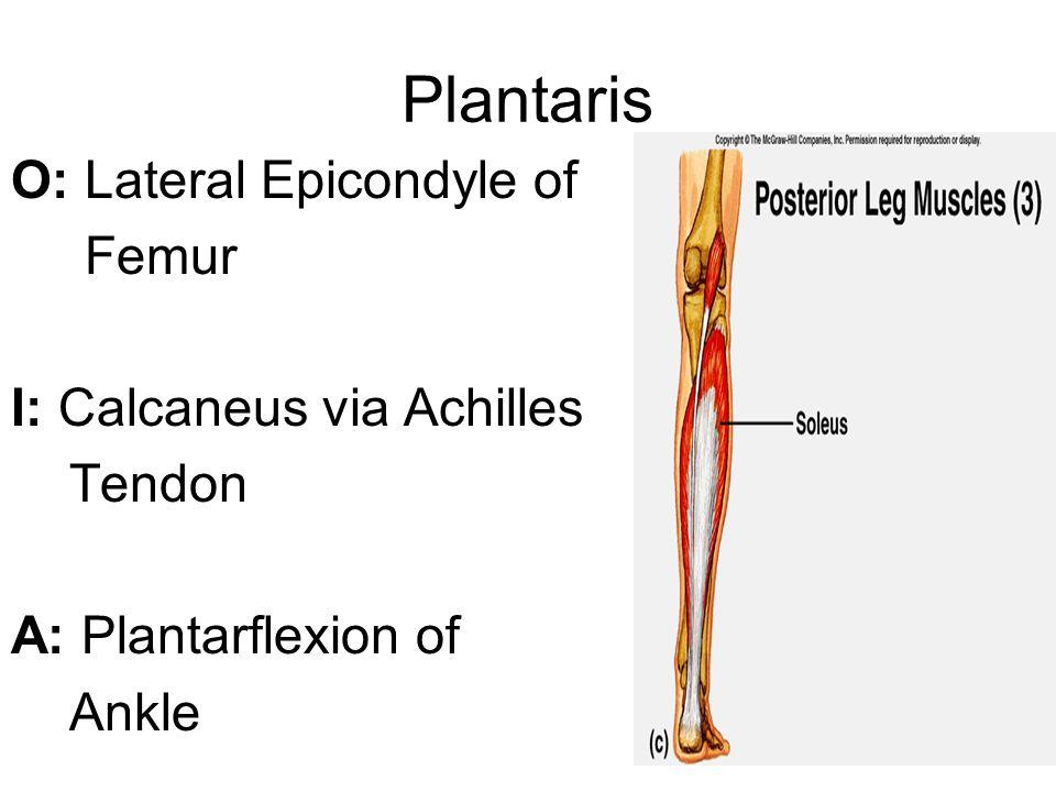 Plantaris O: Lateral Epicondyle of Femur I: Calcaneus via Achilles Tendon A: Plantarflexion of Ankle