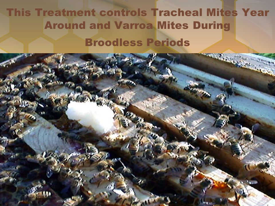 This Treatment controls Tracheal Mites Year Around and Varroa Mites During Broodless Periods