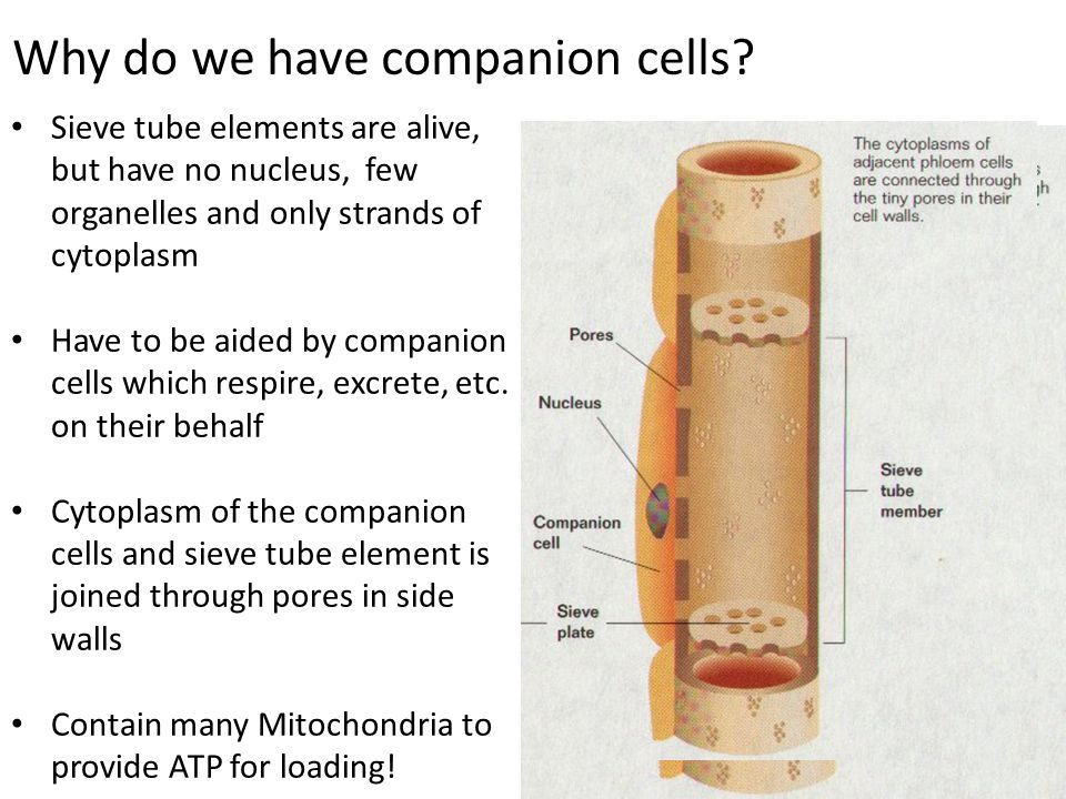 Why do we have companion cells