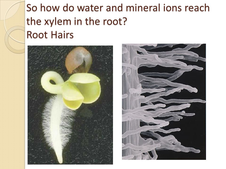 So how do water and mineral ions reach the xylem in the root