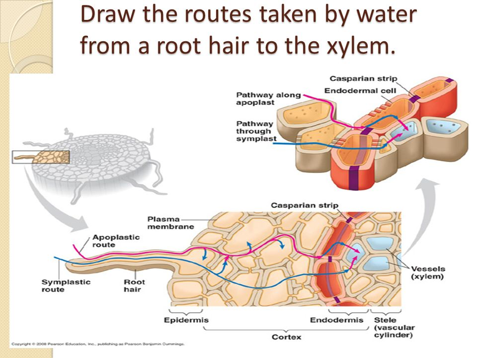 Draw the routes taken by water from a root hair to the xylem.