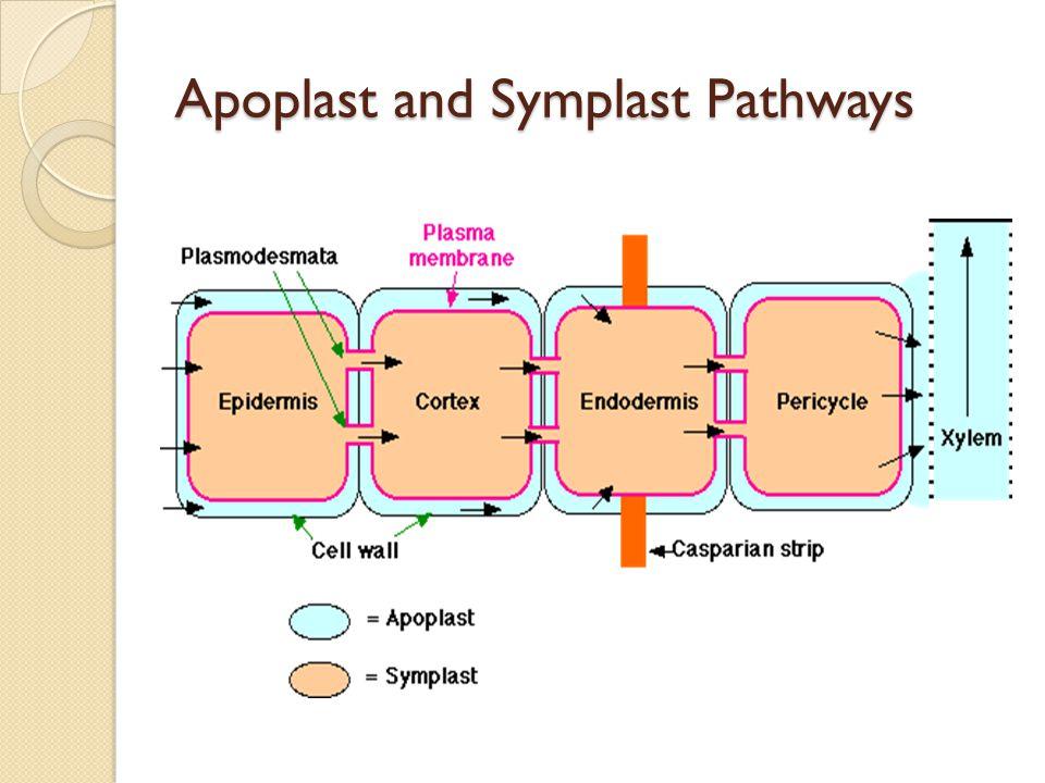 Apoplast and Symplast Pathways