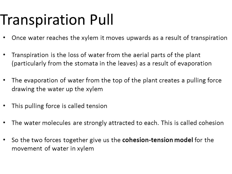 Transpiration Pull Once water reaches the xylem it moves upwards as a result of transpiration.