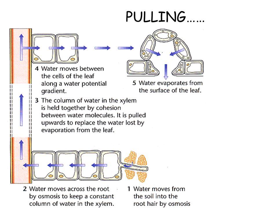 PULLING……