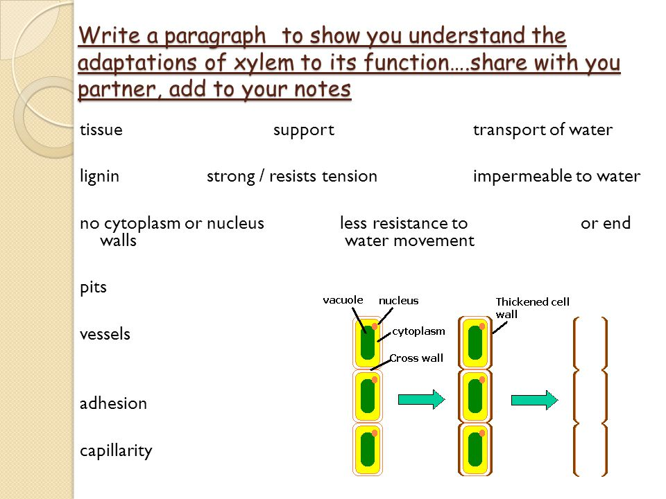 Write a paragraph to show you understand the adaptations of xylem to its function….share with you partner, add to your notes