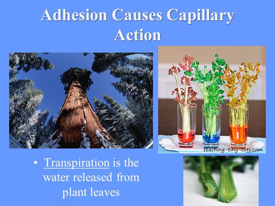 Adhesion Causes Capillary Action