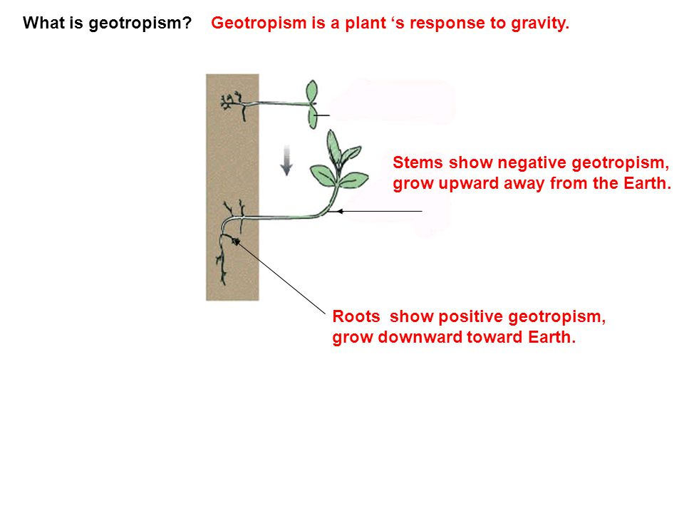 What is geotropism Geotropism is a plant 's response to gravity. Stems show negative geotropism, grow upward away from the Earth.