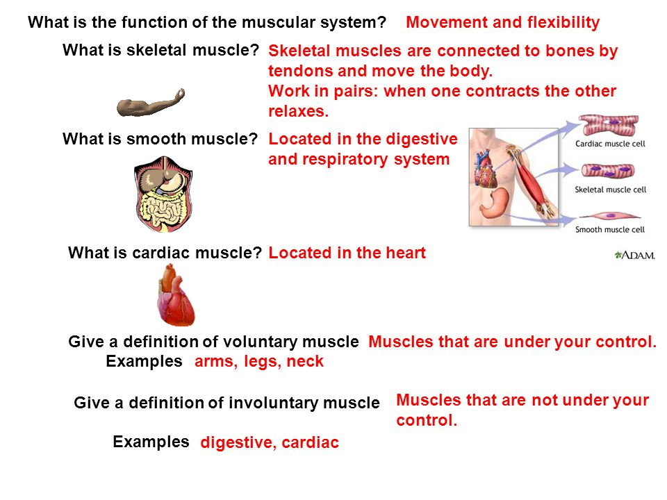 What is the function of the muscular system