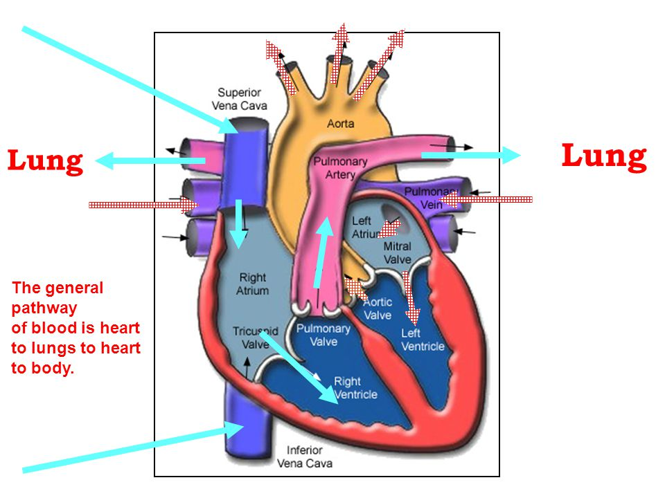 Lung Lung The general pathway of blood is heart to lungs to heart