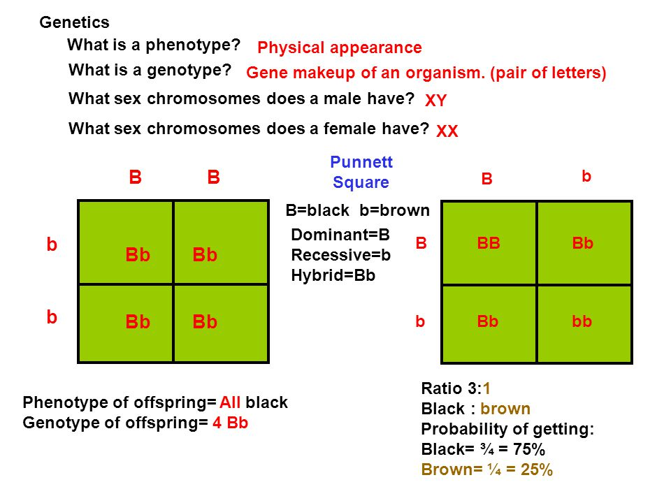 B b Bb Bb b Genetics What is a phenotype Physical appearance