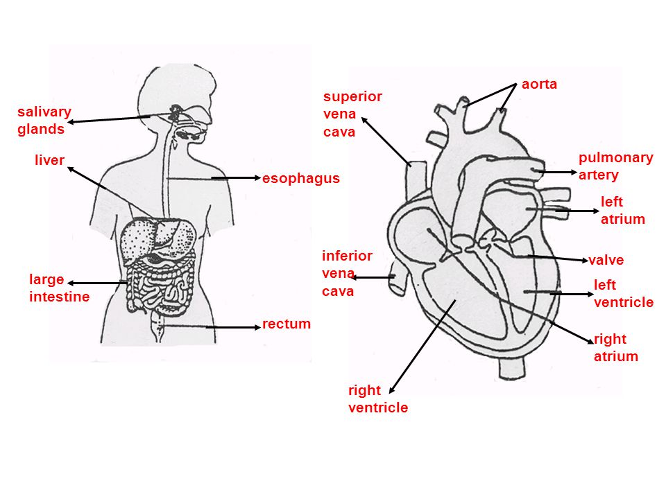 aorta superior. vena. cava. salivary. glands. liver. pulmonary. artery. esophagus. left. atrium.