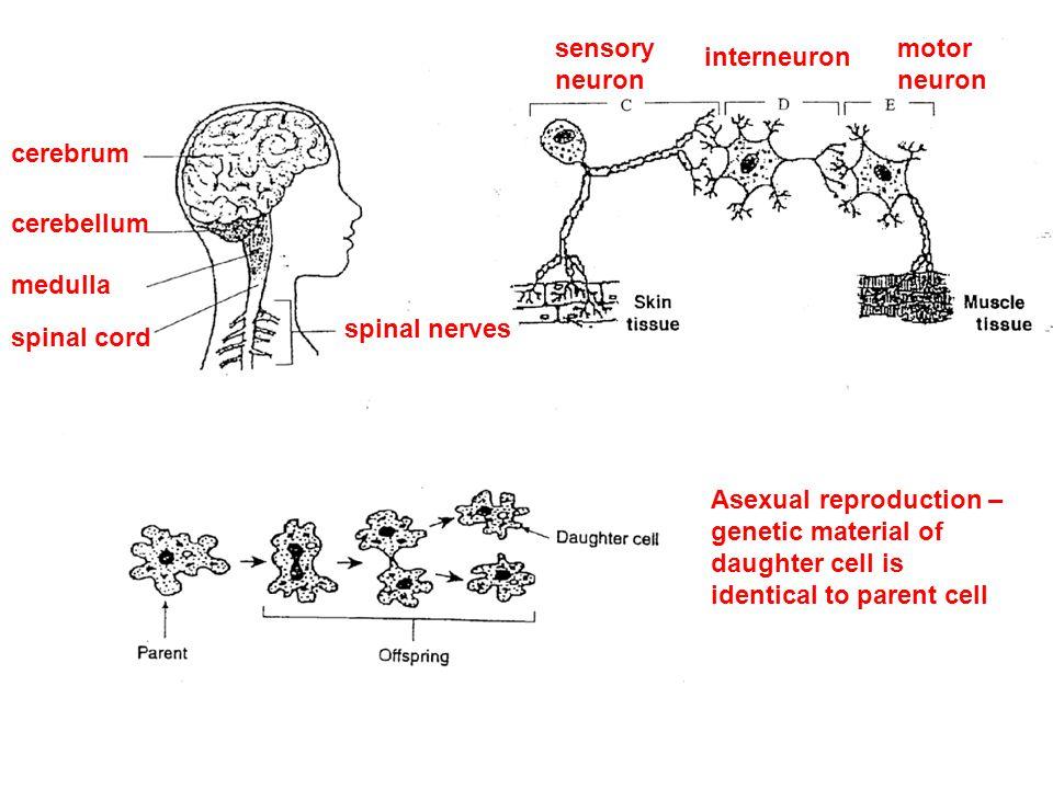 sensory neuron. motor. neuron. interneuron. cerebrum. cerebellum. medulla. spinal nerves. spinal cord.