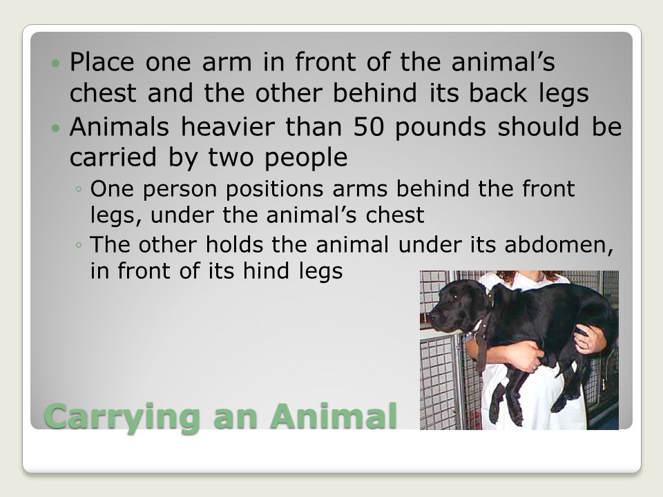 Place one arm in front of the animal's chest and the other behind its back legs