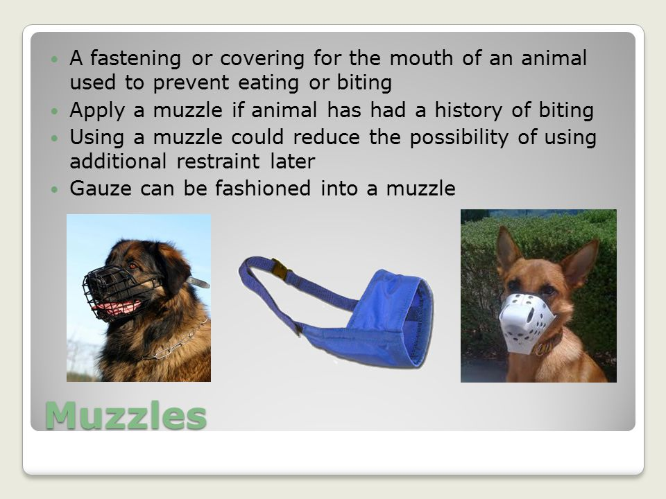 A fastening or covering for the mouth of an animal used to prevent eating or biting