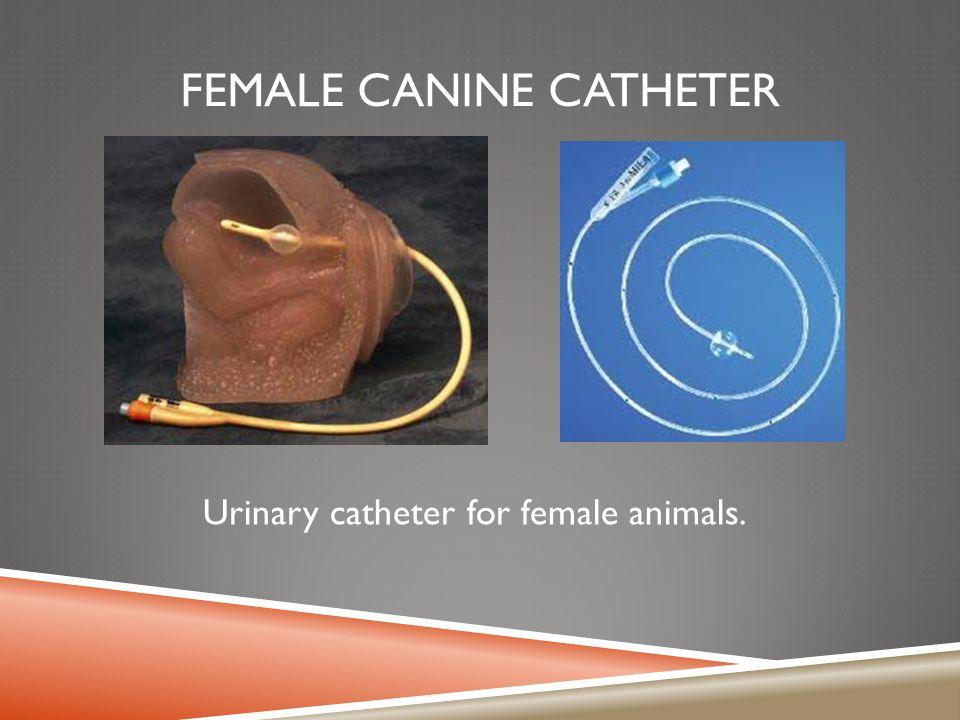 Female Canine Catheter