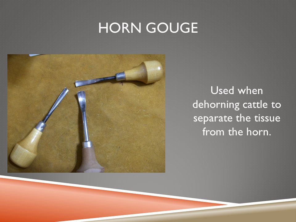 Used when dehorning cattle to separate the tissue from the horn.