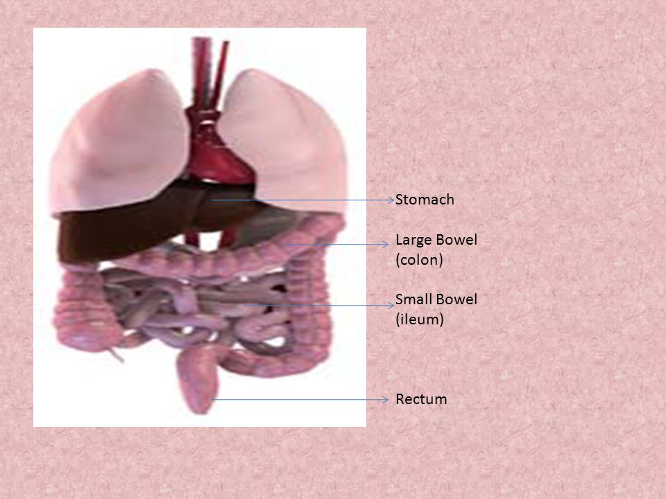 Stomach Large Bowel (colon) Small Bowel (ileum) Rectum