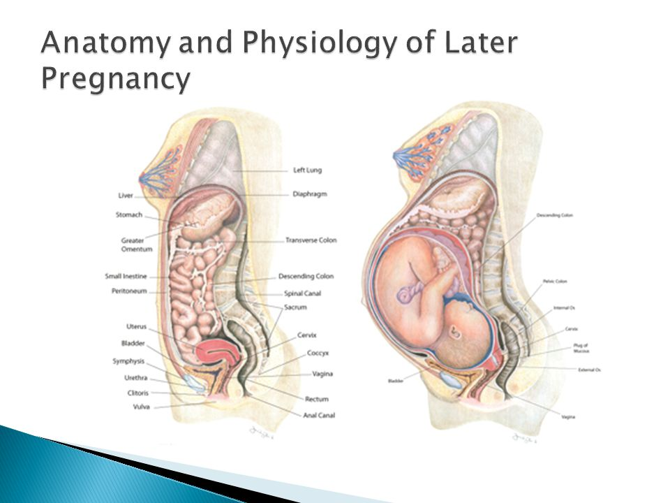 Anatomy and Physiology of Later Pregnancy