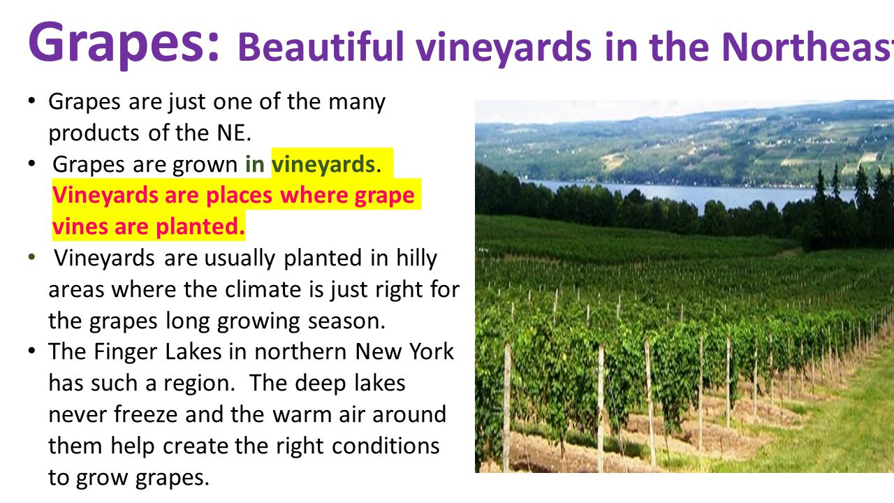 Grapes: Beautiful vineyards in the Northeast