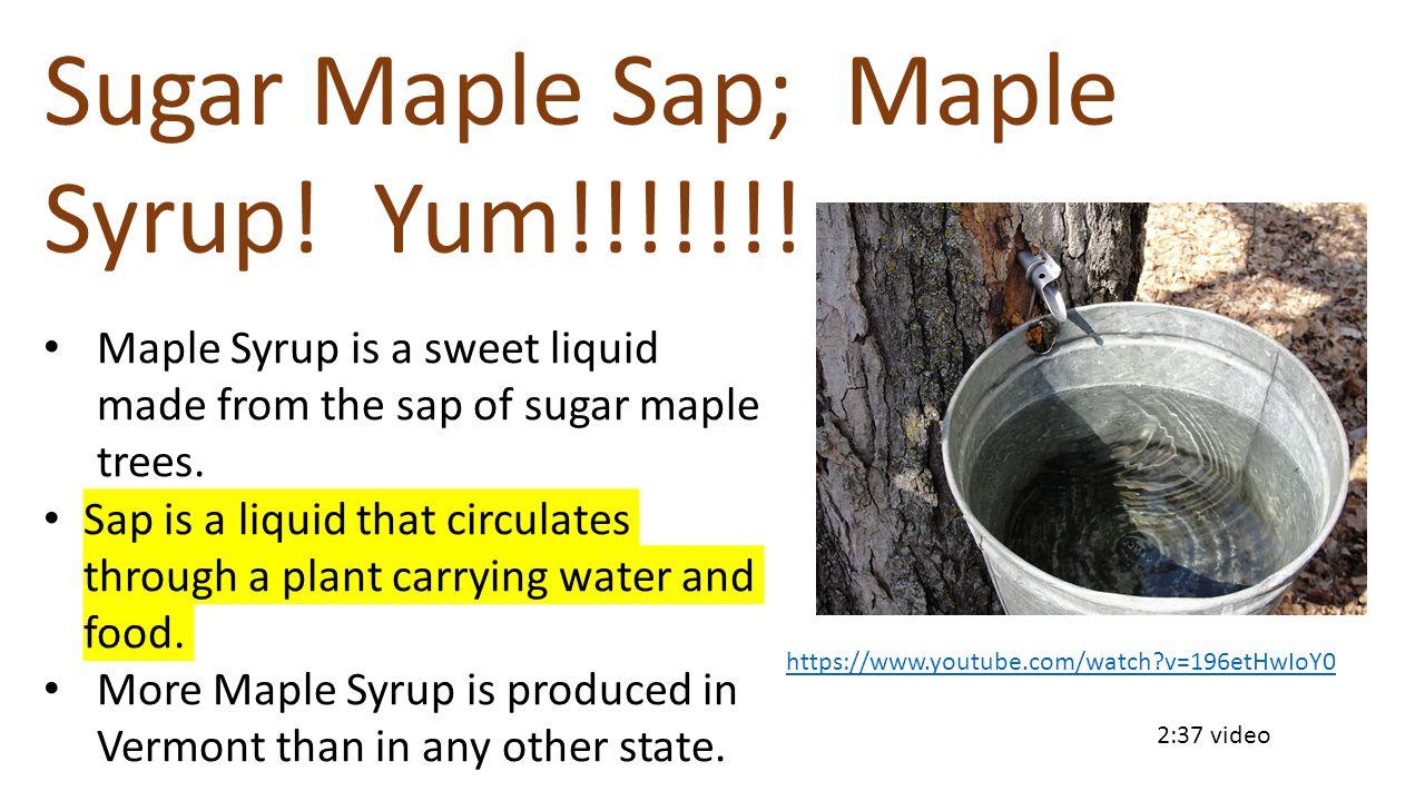 Sugar Maple Sap; Maple Syrup! Yum!!!!!!!
