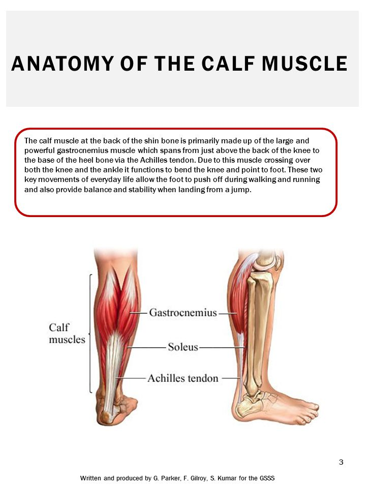 Anatomy of a calf