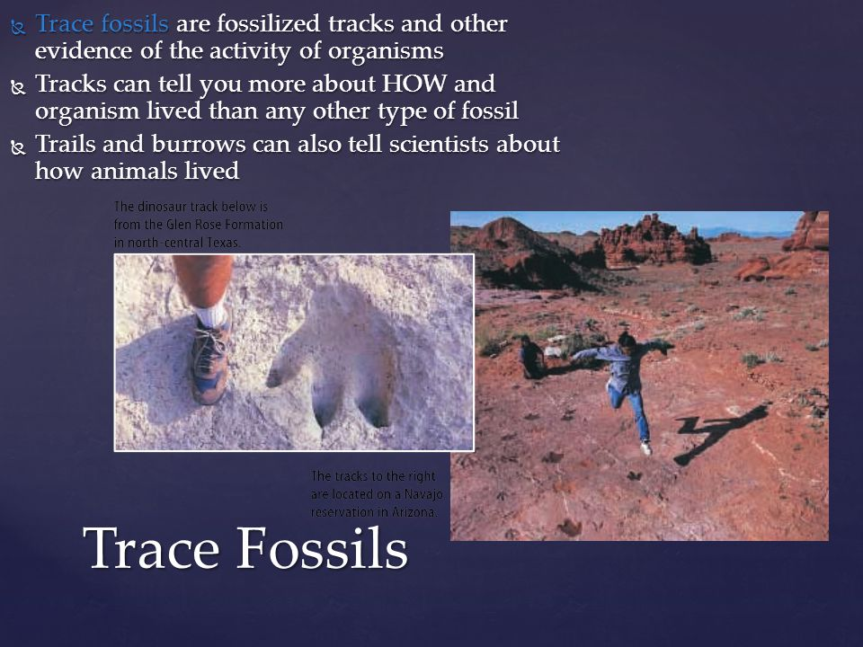 Trace fossils are fossilized tracks and other evidence of the activity of organisms