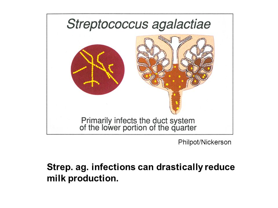 Strep. ag. infections can drastically reduce milk production.