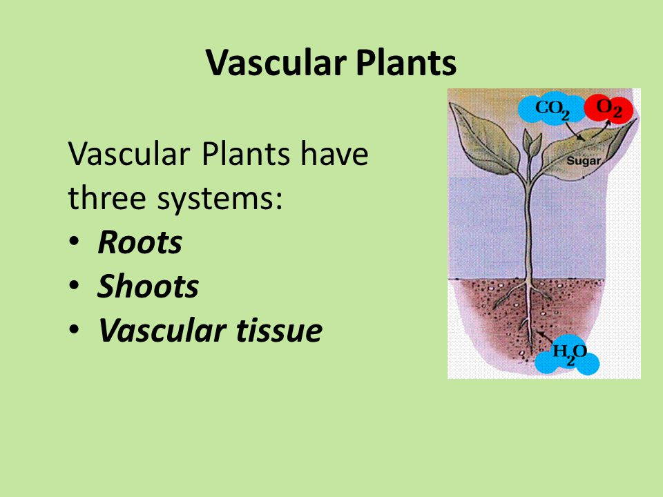 Vascular Plants Vascular Plants have three systems: Roots Shoots