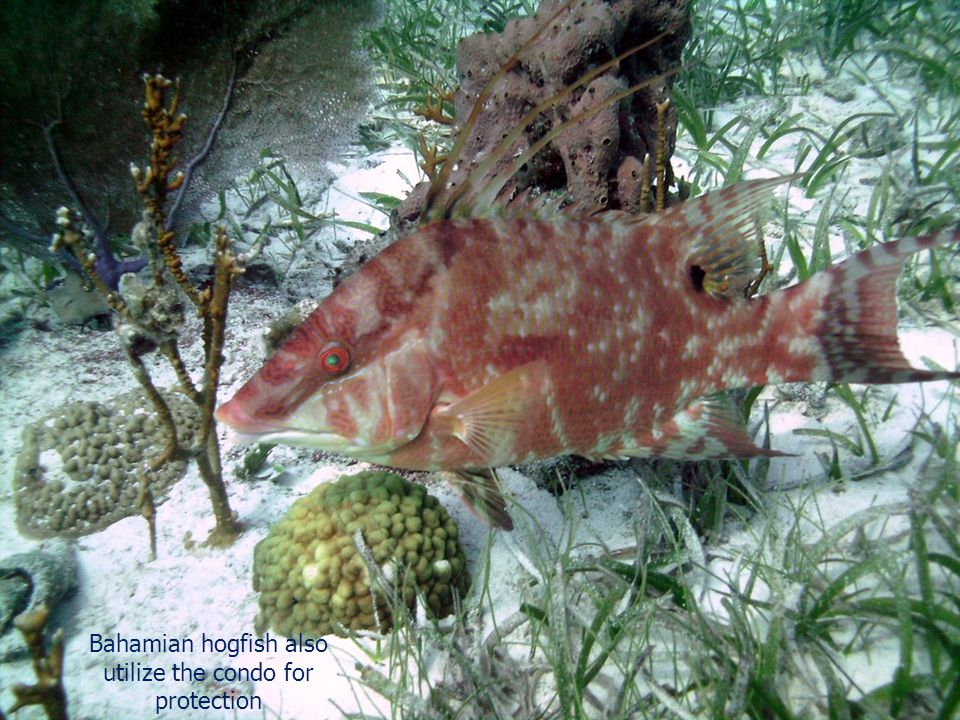 Bahamian hogfish also utilize the condo for protection