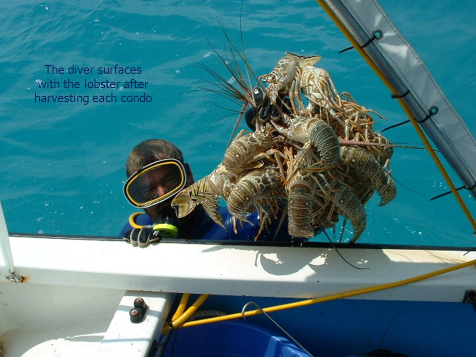 The diver surfaces with the lobster after harvesting each condo