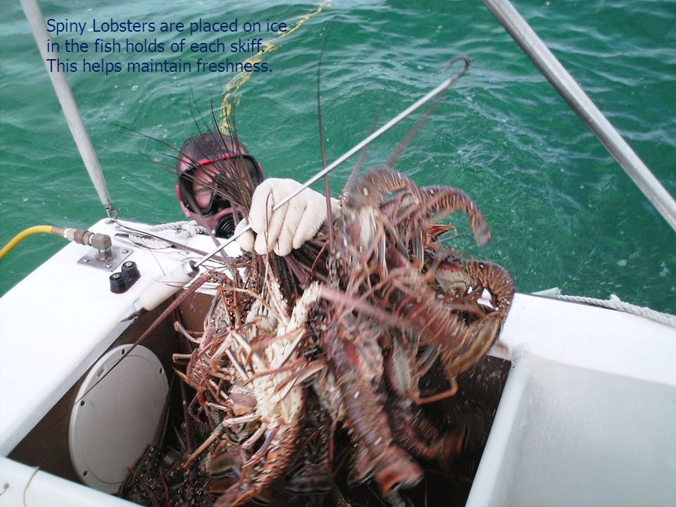 Spiny Lobsters are placed on ice in the fish holds of each skiff