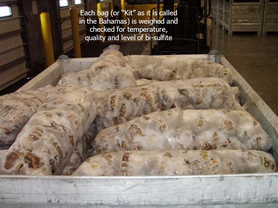 Each bag (or Kit as it is called in the Bahamas) is weighed and checked for temperature, quality and level of bi-sulfite