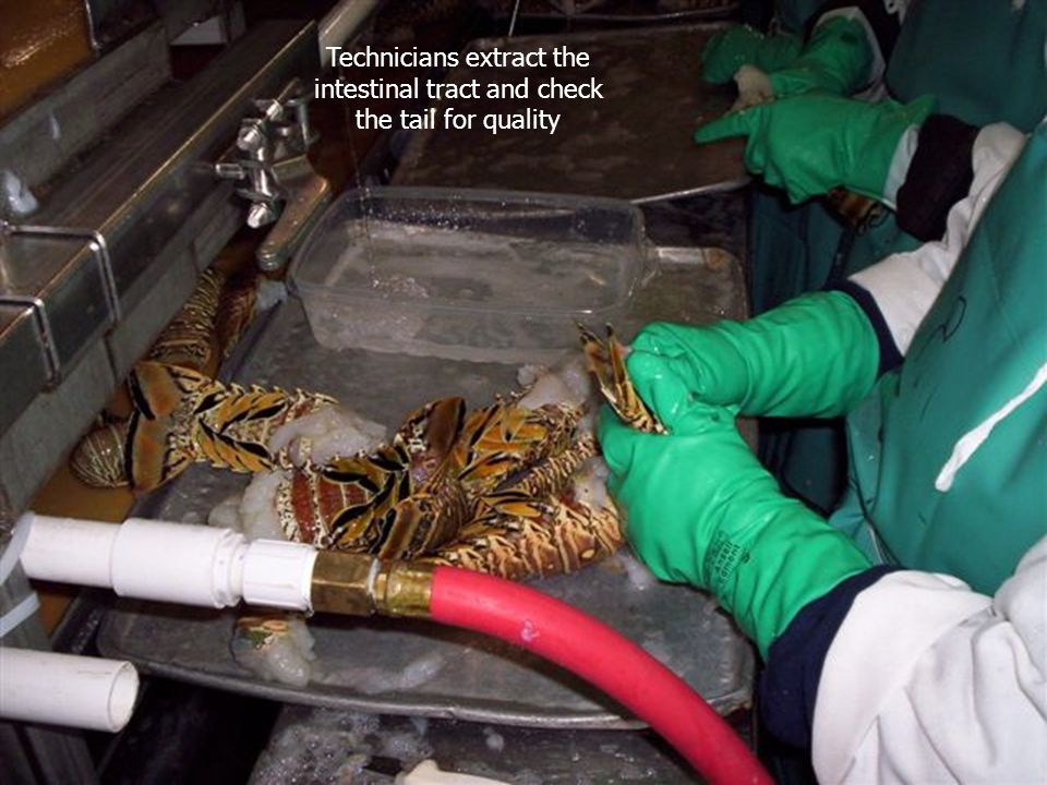 Technicians extract the intestinal tract and check the tail for quality