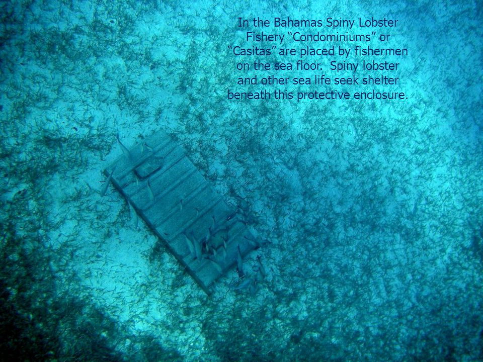 In the Bahamas Spiny Lobster Fishery Condominiums or Casitas are placed by fishermen on the sea floor.