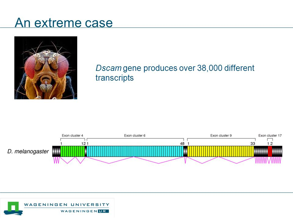 An extreme case Dscam gene produces over 38,000 different transcripts