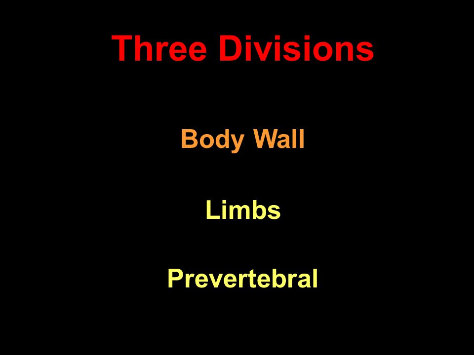 Three Divisions Body Wall Limbs Prevertebral
