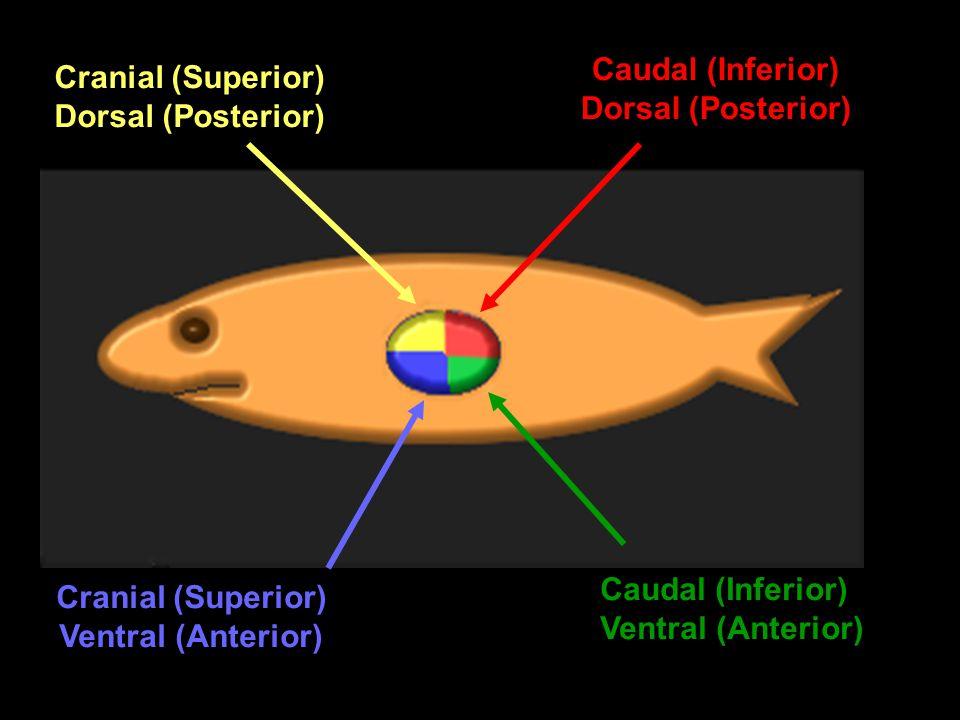 Caudal (Inferior) Cranial (Superior) Dorsal (Posterior)