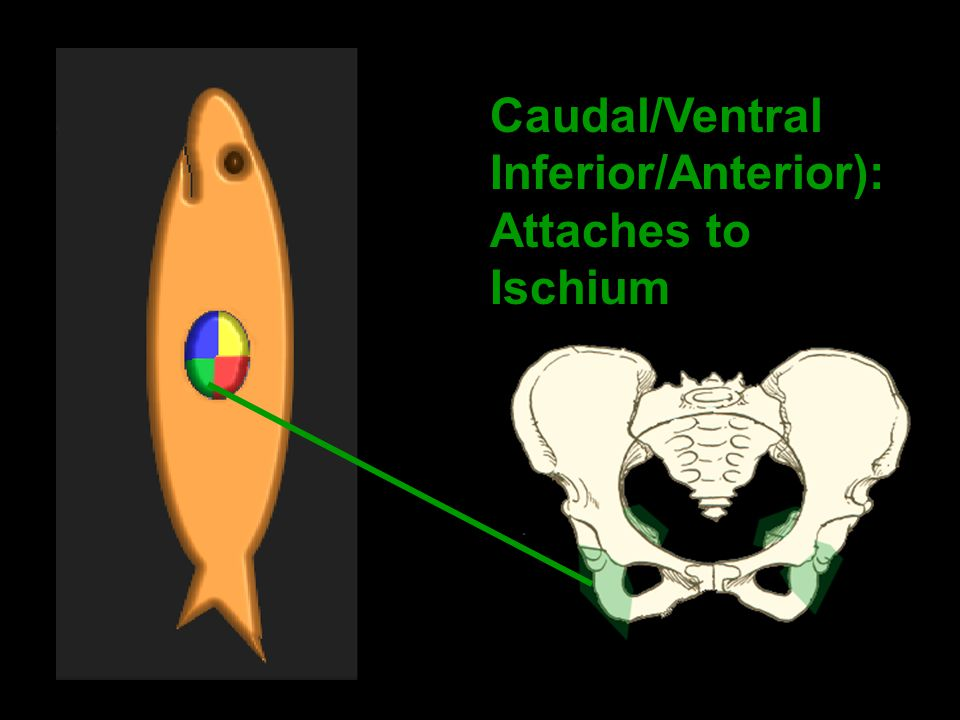 Caudal/Ventral Inferior/Anterior): Attaches to Ischium