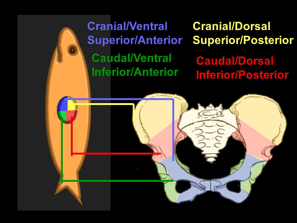 Cranial/Ventral Superior/Anterior. Cranial/Dorsal. Superior/Posterior. Caudal/Ventral. Inferior/Anterior.