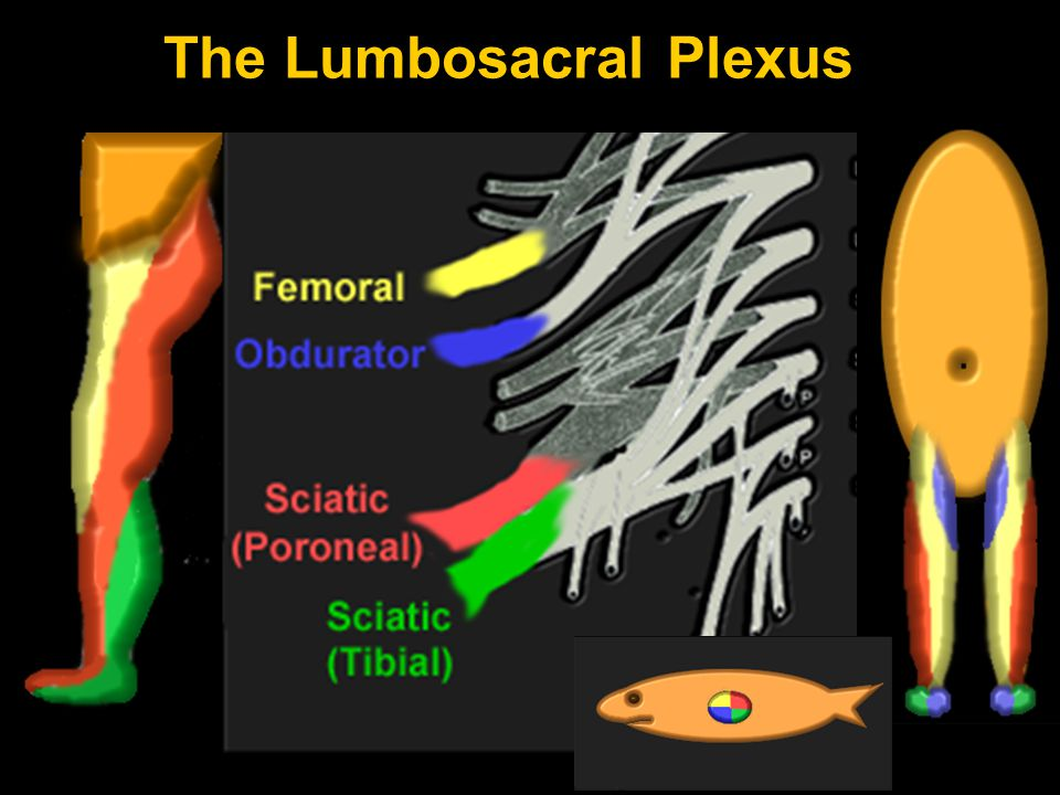 The Lumbosacral Plexus