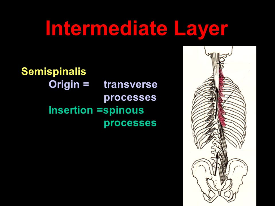 Intermediate Layer Semispinalis processes Insertion =spinous