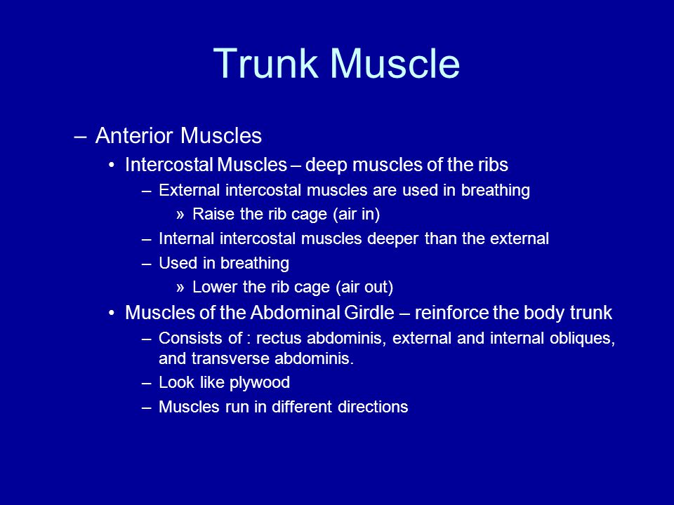 Trunk Muscle Anterior Muscles