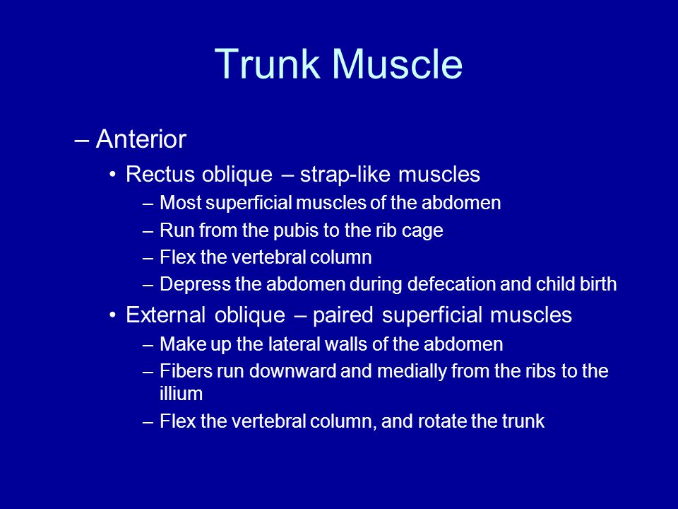 Trunk Muscle Anterior Rectus oblique – strap-like muscles