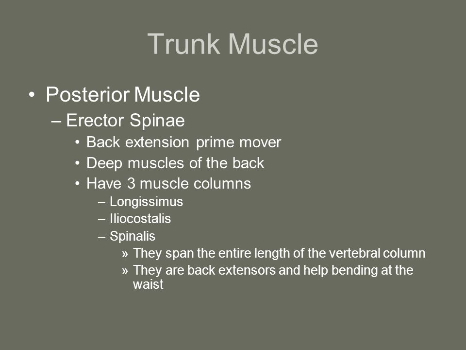 Trunk Muscle Posterior Muscle Erector Spinae