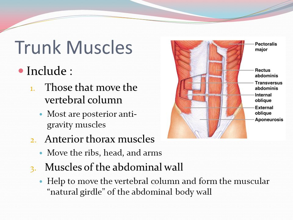 Trunk Muscles Include : Those that move the vertebral column