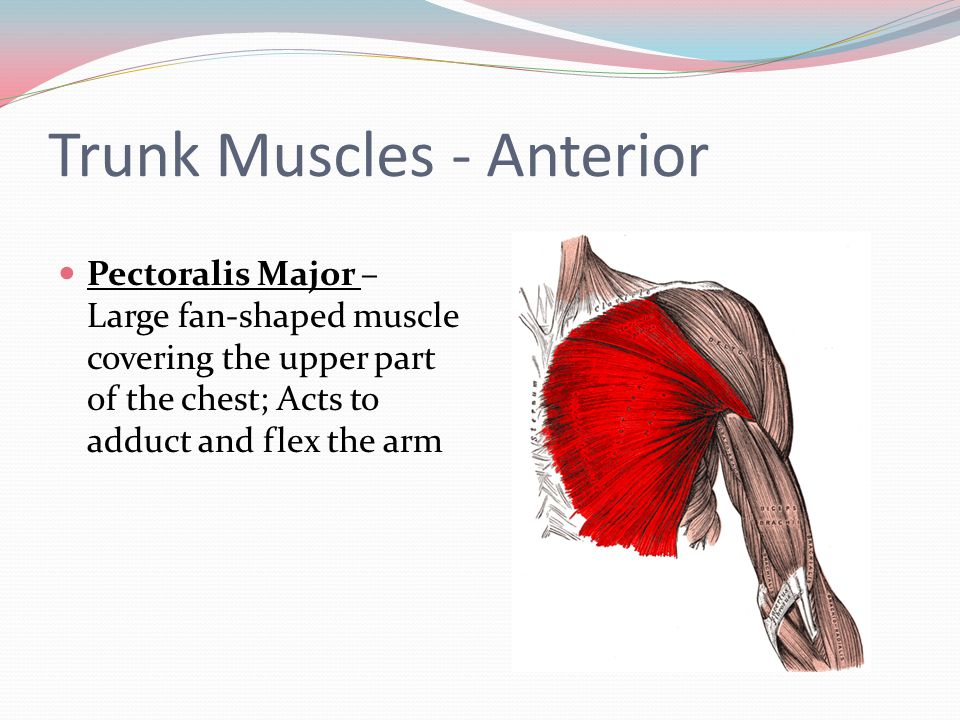 Trunk Muscles - Anterior